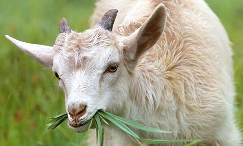 a goat eating leaves